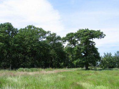 Hjalmar's oak grove